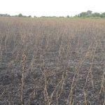Kolonie Sommerfeld: Sojafelder niedergebrannt