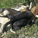 Chaco: Das Hundetöten greift um sich