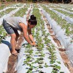 Erdbeeren dürften wegen Covid-19 stark nachgefragt werden
