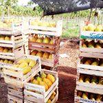 Gute Ernte von Papaya, aber der Absatz dürfte schwierig werden
