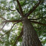 Vor dem nicht genehmigten Baumschnitt wird gewarnt