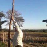 Maniok: 4 Meter lang und 20 kg schwer