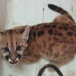 Chaco: Staatsanwaltschaft rettet Puma