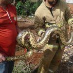 """Eine """"nur"""" 4 Meter lange Schlange gerettet"""