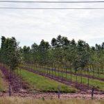 Die Eukalyptus-Monokultur gewinnt an Boden