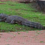 Parkbesucher sind Angriffen von Alligatoren ausgesetzt