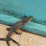 Alligator macht Hausbesuch