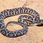 Zu wieviel Schlangenbissen es dieses Jahr schon kam