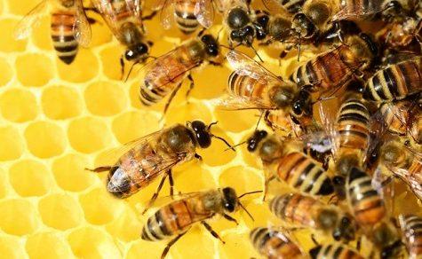 Bienenschwarm greift Menschen an und tötet Tiere