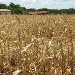 Dürre und Insekten bedrohen die Ernte