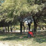Die vielseitigen Schoten des Johannisbrotbaumes