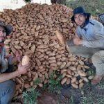 Pandemie genutzt, um in den Kartoffelanbau einzusteigen