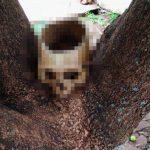 Totenschädel im Baum entdeckt