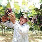 Beste Traubenproduktion, es fehlt aber an Absatzmöglichkeiten