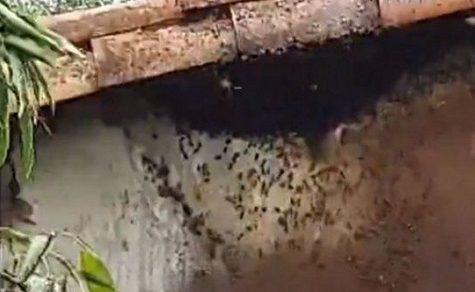 Bienen töten Hunde und Hühner