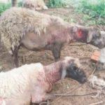 """Seltsame Wesen"" greifen Schafe im Chaco an"