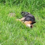 Freilaufende Hunde können tödlich sein