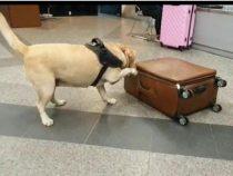 Feine Nase: Hund entdeckt Kokain im Koffer