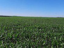 Wassermangel gefährdet den Maisertrag und Weizenanbau