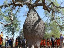 Auf der Suche nach den größten Bäumen im Land