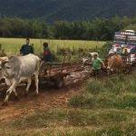 Kolonie Independencia: Mit Ochsen Busse aus dem Schlamm gezogen