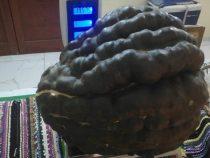 Ein fast 20 Kilo schwerer Kürbis aus dem eigenen Garten