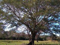 Kolosse der Erde: Ein 160 Jahre alter Baum könnte den ersten Platz erreichen