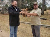 Zwei Puma-Babys im Chaco gerettet