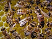 Mann stirbt nach Bienenangriff