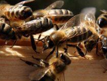 Bienenschwarm zum Schutz vor Dieben: Ganze Nachbarschaft angegriffen und fünf Hunde getötet